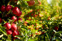 Red apples in the orchard Royalty Free Stock Photo