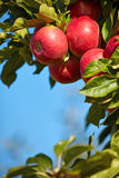 Red apples in the orchard Stock Photography