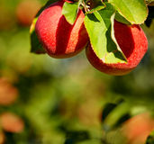 Red apples in the orchard Stock Photos