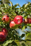 Red apples in the orchard Stock Image