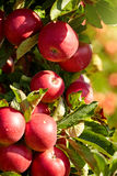 Red apples in the orchard Royalty Free Stock Photography