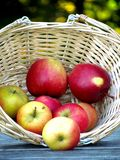 Red Apples in a Picking Basket. This is some Red Delicious Apples in a picking basket during Fall at harvesting time Royalty Free Stock Photos