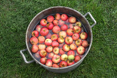 Red apples in pot Stock Images