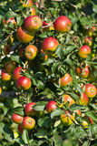 Red apples. Ripe red apples on the tree Stock Photos