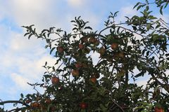 Red apples ripened in the garden royalty free stock photo