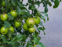 Red apples riping on branch in sunlight, selective focus, shallow DOF Stock Images