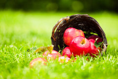 Red apples spilling from a basket onto the grass. Royalty Free Stock Images