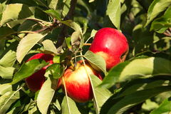 Red Apples in the sun Royalty Free Stock Image
