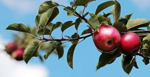 Red apples in tree Stock Photography