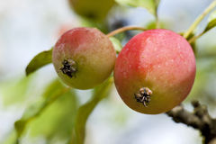 Red apples in the tree Royalty Free Stock Photos