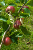 Red apples in a tree Stock Photography