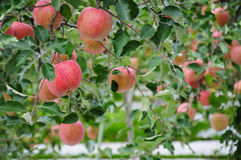 Red apples on tree. Apple's farm in Japan Stock Image