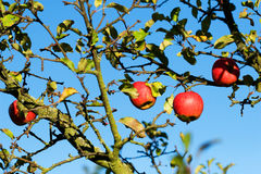 Red apples on a tree Stock Images