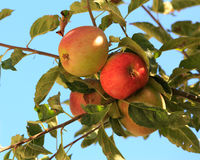 Red apples on tree Royalty Free Stock Photo