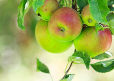 Red apples on tree Stock Image