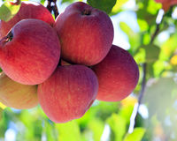 Red apples on tree Royalty Free Stock Photography