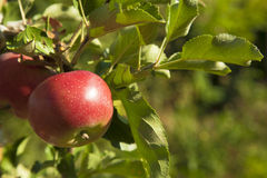 Red apples on a tree. Ripe red apples on an apple tree Royalty Free Stock Photos