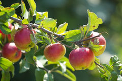 Red apples. On the tree Royalty Free Stock Photos
