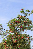 Red apples on tree against blue sky Royalty Free Stock Images