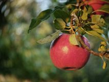 Red apples on the tree. Beautiful red apples on the tree royalty free stock images