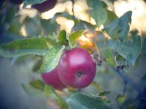 Red apples on the tree. Beautiful red apples on the tree stock photography