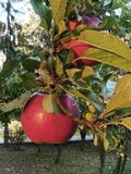 Red apples on the tree. Beautiful red apples on the tree royalty free stock photography