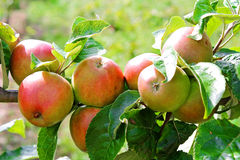 Red apples in a tree branch. Red apples AND GREEN LEAVES in a tree branch Stock Photo