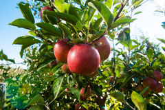 Red apples on tree branch. Red apples on apple tree branch Royalty Free Stock Photo