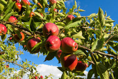 Red apples on the tree branch Royalty Free Stock Photos