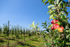 Red apples on tree branch Stock Images