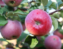 Red apples on the tree. Royalty Free Stock Photos