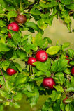 Red apples in the tree. Close-up of tree branch with red apples Stock Images