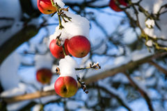 Red apples on tree and first snow Stock Image