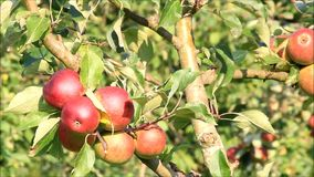 Red apples on tree stock video footage