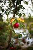 Red apples. On a tree in the garden Stock Photography