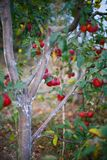 Red apples. On a tree in the garden Royalty Free Stock Photography
