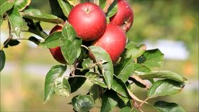 Red apples on tree stock footage
