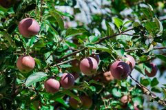 Red apples in the tree. Many beautiful red apples growing on the tree in the garden among green leaves. Concept of autumn harvest. Planting fruits and gardening stock photography
