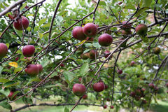 Red apples on a tree in an orchard Stock Images