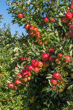 Red apples in tree in orchard Royalty Free Stock Photography