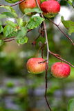 Red apples on a tree Royalty Free Stock Images