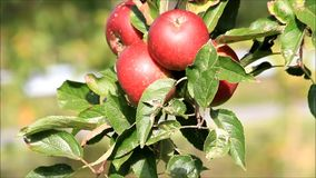 Red apples on tree stock video