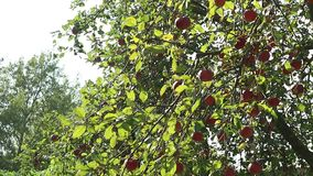 Red apples on the tree stock video