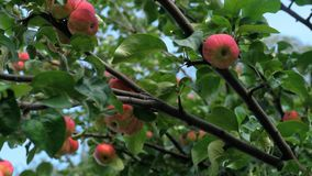 Red apples at a tree in summer. Autumn harvest - a red Apples at a tree, close-up stock video footage