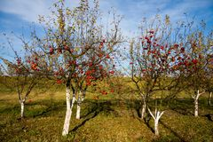Red apples on trees Royalty Free Stock Photos