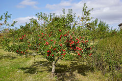 Red apples on trees in a orchad Royalty Free Stock Image