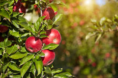 Red apples on the trees Stock Photography