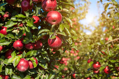 Red apples on the trees Royalty Free Stock Images