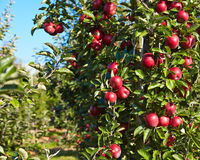 Red apples on the trees Royalty Free Stock Photos
