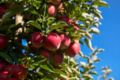 Red apples on the trees Stock Image